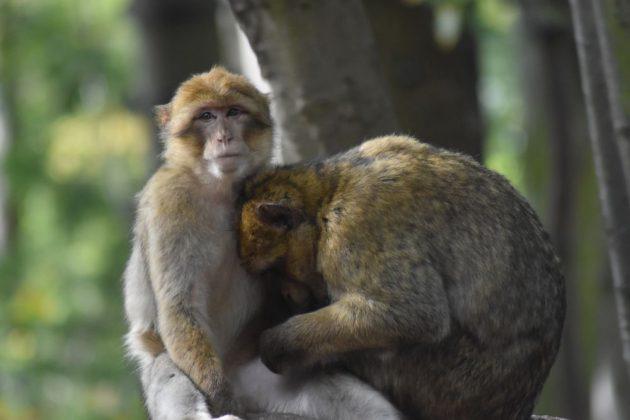 montagne des singes 68