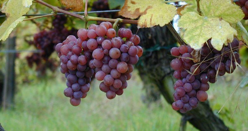 raisins pour faire le gewurztraminer en Alsace